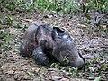 Sumatran rhinoceros newborn.jpg