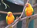 Sun parakeets sun conures (7987439516).jpg