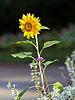 Sunflower - Toulouse - 2012-09-07.jpg