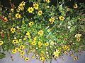 Sunflower image8.jpg