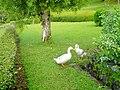 Swan Pair.jpg