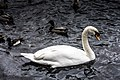 Swan at Herbert Park, Ballsbridge, Dublin -5301 (15732889731).jpg