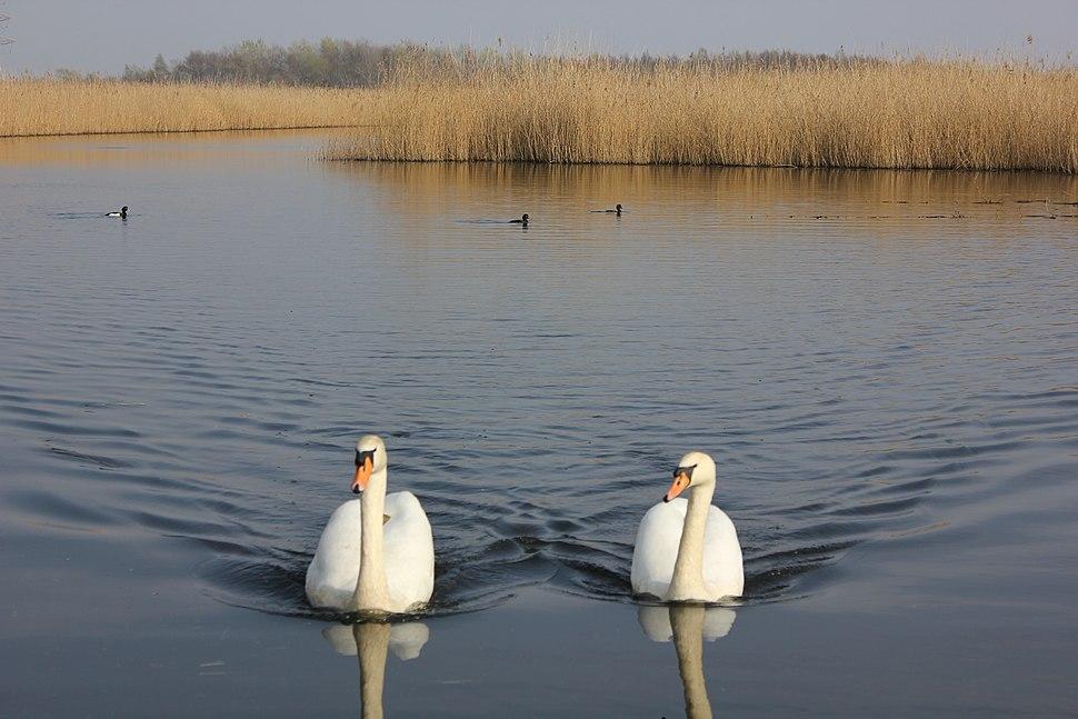 Swans at Newport Wetlands Centre