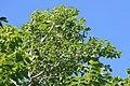 Swietenia macrophylla 2zz.jpg