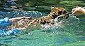 Swimming with Baby Jaguars.jpg