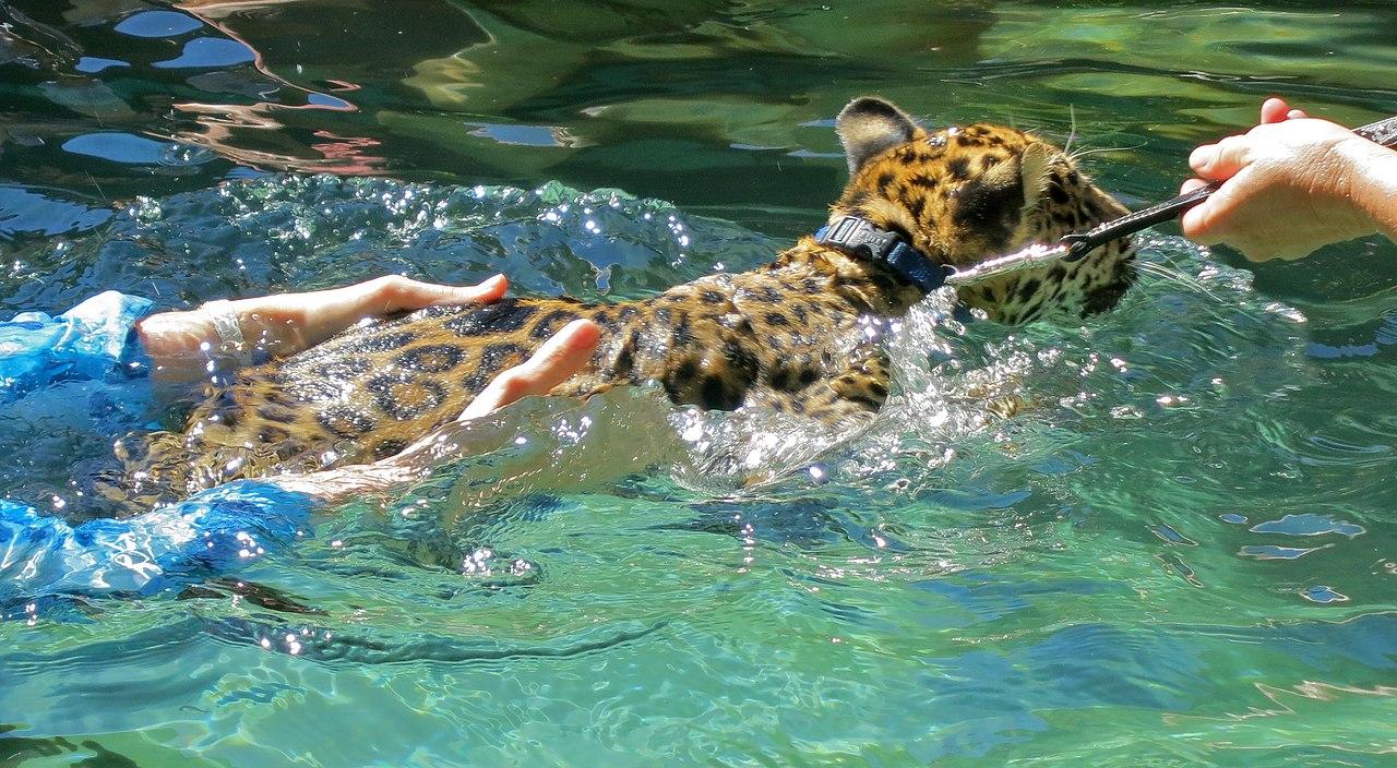 jaguar swimming pool - photo #23