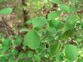 Symphoricarpos albus 01050.JPG