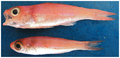 Symphysanodon berryi - pone.0010676.g045.png