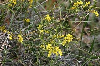 <i>Synaphea spinulosa</i> Species of Australian shrub in the family Proteaceae