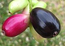 220px-Syzygium_cumini_-_fruits.jpg