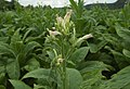 Tabac fleurs boutons Dordogne.jpg