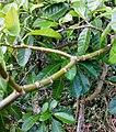 Tabernaemontana citrifolia (branches).jpg