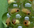 Tadpoles - Agalychnis callidryas cutted.png