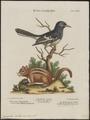 Tamias lysteri - 1700-1880 - Print - Iconographia Zoologica - Special Collections University of Amsterdam - UBA01 IZ16300363.tif