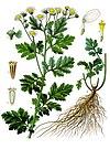 Tanacetum parthenium - Köhler–s Medizinal-Pflanzen-036.jpg