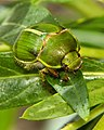 Tanguru chafer (Stethaspis suturalis) by Sid Mosdell.jpg