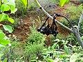 Tarenna asiatica - Asiatic Tarenna 15.jpg