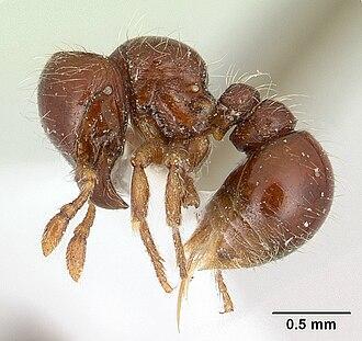 Agroecomyrmecinae - Tatuidris tatusia