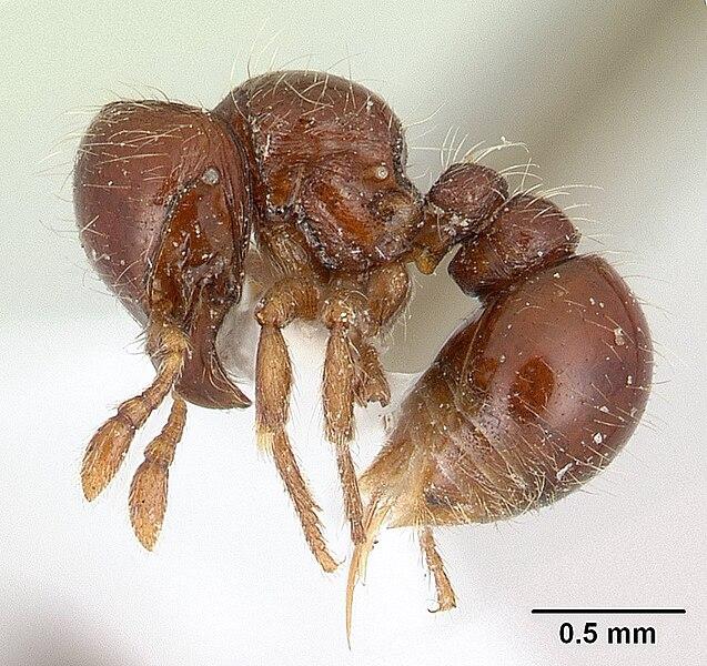 Semut: Subfamili Agroecomyrmecinae