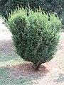 Taxus baccata - tisa.jpg