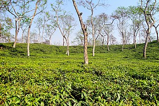 Tea garden at Sripur (1).jpg
