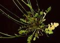 Teesdalia nudicaulis3 eF.jpg