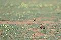 Temminck's courser, Cursorius temminckii, at Mapungubwe National Park, Limpopo Province, South Africa (46138158224).jpg