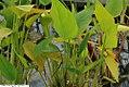 Thalia geniculata f 1zz.jpg