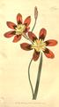 The Botanical Magazine, Plate 381 (Volume 11, 1797).png