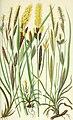 The British grasses and sedges (1858) (14761640354).jpg