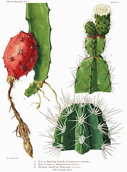 The Cactaceae Vol II, plate XIII filtered.jpg