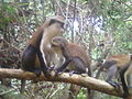 The Friendly Mona Monkeys at Tafi Atome Monkey Sanctuary 04.jpg