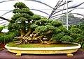 The bonsai experience (2875993491).jpg