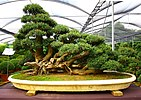 The bonsai experience (2875993491).jpg