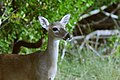 The endangered Key deer (1) (5494835696).jpg