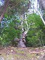 The oldest tree in Satovcha Municipality - panoramio.jpg