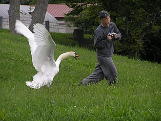 Swan - Mute swan threatens a photographer in Toyako, Japan.