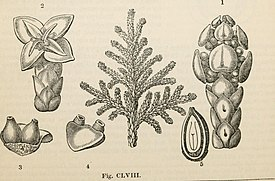 The vegetable kingdom - or, The structure, classification, and uses of plants, illustrated upon the natural system (1846) (14787637733).jpg