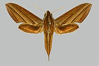 Theretra lycetus, female, upperside. India, Assam, Shillong.jpg