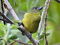 Thick-billed Euphonia female RWD5c.jpg
