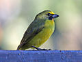 Thick-billed Euphonia male RWD7.jpg