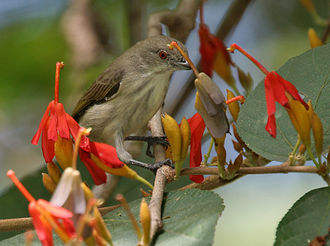 Thick-billed flowerpecker - Thick-billed Flowerpecker Dicaeum agile on Helicteres isora in Narsapur, India.