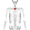 Thoracic vertebra 3 posterior.png
