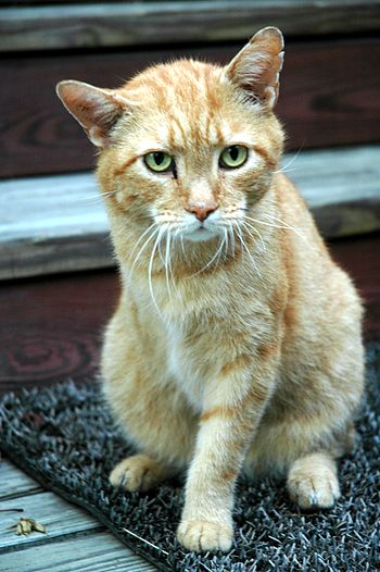 Three-legged, orange tabby cat -- Truman.