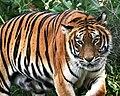 Tigre de Bengala-Panthera tigris tigris.jpg