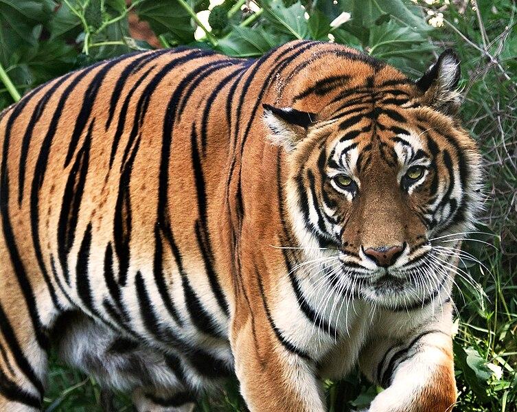 tigre peligro de extinción