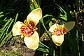 Tigridia pavonia, Conservatoire botanique national de Brest 04.jpg