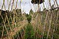 Tomateras encañadas y recalzadas. Buena cosecha (25-6-2014) (29328668896).jpg