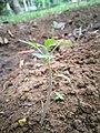 Tomato plant child.jpg