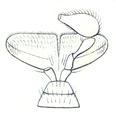 Tomoxia bucephala Lippentaster Reitter.png
